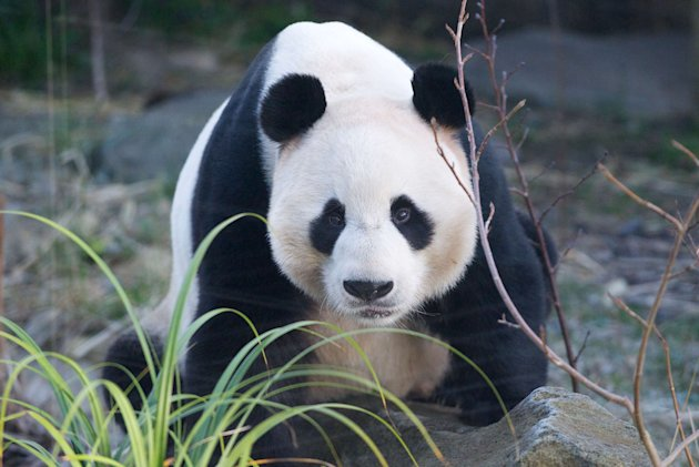 Yang Guang, the male panda, looks at the camera. The pandas have boosted ticket sales for Edinburgh zoo by about 50% in the last year (Rex)