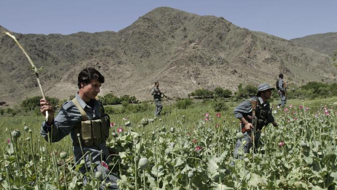 In this Saturday, April 13, 2013 photo, Afghan policemen destroy an opium poppy field in Noorgal, Kunar province, east of Kabul, Afghanistan. Opium poppy cultivation has been increasing for a third year in a row and is heading for a record high, the U.N. said in a report released Monday. Poppy cultivation is also dramatically increasing in areas of the southern Taliban heartland, the report showed, especially in regions where thousands of U.S.-led coalition troops have been withdrawn or are in the process of departing. The report indicates that whatever international efforts have been made to wean local farmers off the crop have failed. (AP Photo/Rahmat Gul)