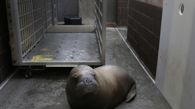 Mitik, a baby walrus who survived the flooding of his enclosure during Superstorm Sandy, at the Wildlife Conservation Society's New York Aquarium in Coney Island, New York, Monday, March 25, 2013.  (AP Photo/Seth Wenig)