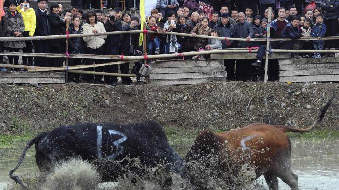 Villagers watch a bullfight in Wuyi county, Zhejiang province