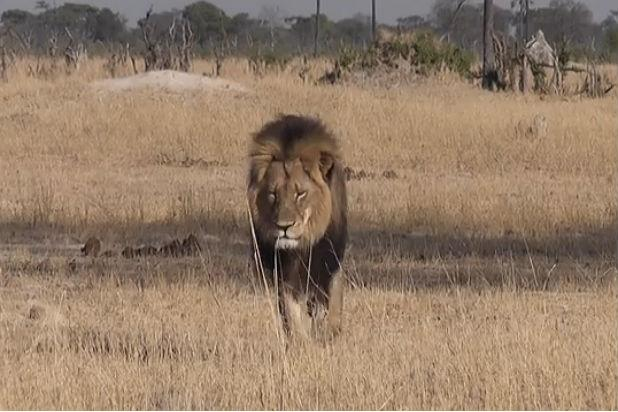 Cecil the Lion Killer Won't Be Charged by Zimbabwe Officials