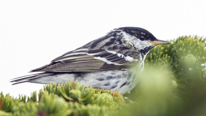 In this June 2013 photo released by the Cornell University Lab of Ornithology, a blackpoll warbler sits on a limb in New Hampshire. A study to be published Wednesday, April 1, 2015, in the journal Biology Letters found that the tiny songbird that summers in the forests of northern North America has been tracked on a 1,700-mile, over-the-ocean journey from the northeastern United States and eastern Canada to the islands of the Caribbean. (AP Photo/Cornell University Lab of Ornithology, Laura Erickson)