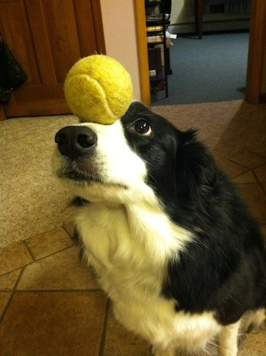 Zelda the Border Collie Wows With Balancing Act