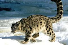 Snow Leopard in Hemis National Park, Ladakh
