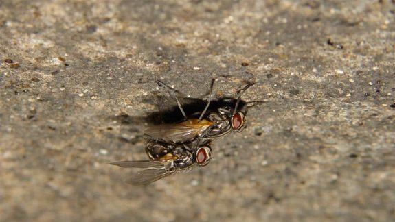 Loud Sex Can Be Deadly for Flies