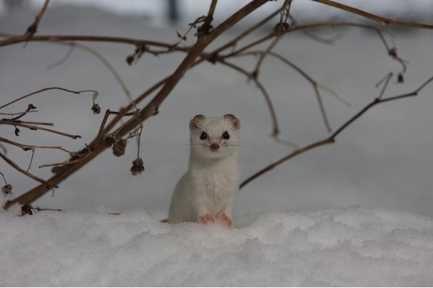 Least weasel (Mustela nivalis), Finland. The smallest carnivore in the world - the very smallest are found in the High Arctic (30-70g, average body length of 130mm). They stay active throughout the wi