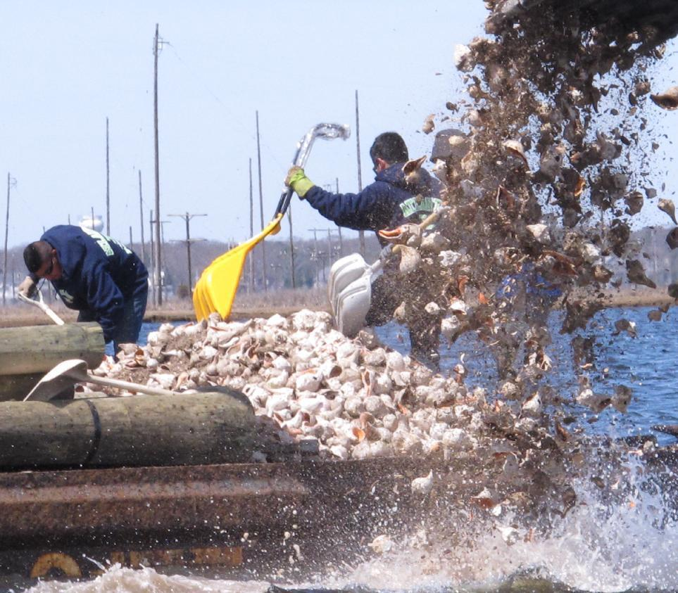 Environmentalists re-establishing Barnegat Bay oyster colony