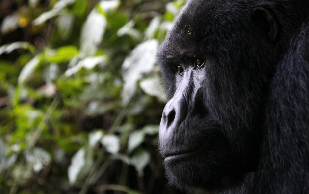 Endangered silverback mountain gorilla from Bitukura family, walks inside a forest in Bwindi Impenetrable National Park