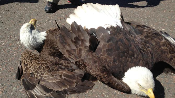 In this  Sunday, May 12, 2013, photo provided by the Minnesota Department of Natural Resources  are two bald eagles after they crash landed on a runway at Duluth, Minn., International Airport. Minnesota DNR officer Randy Hanzal said the eagles, locked together by their talons in a midair territorial dispute, couldn't separate but survived the fall. (AP Photo/Minnesota Department of Natural Resources, Randy Hanzal)