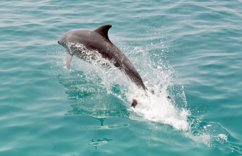 BP oil spill caused dolphins' lung disease, deaths: study