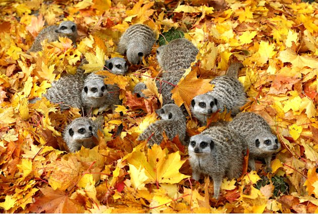 A group of adorable meerkats…