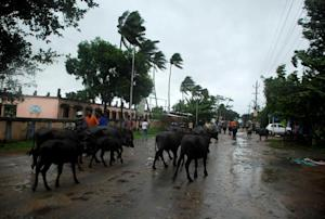Indian villagers and cattle walk through the streets …