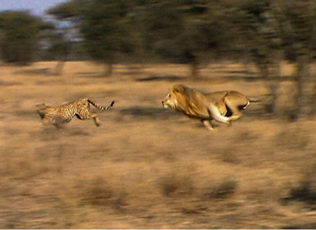 Cat Wars:  Lion vs. Cheet …