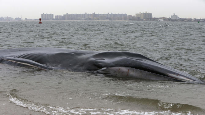 An emaciated 60-foot finback whale that beached itself in the Breezy Point neighborhood of the Rockaways is shown in New York, Wednesday, Dec. 26, 2012. Biologist Mendy Garron says it's unclear what caused the whale to beach itself, but its chances of survival appear slim. (AP Photo/Kathy Willens)