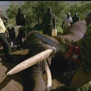 San Francisco Ivory Trade Helping Fuel Slaughter Of African Elephants