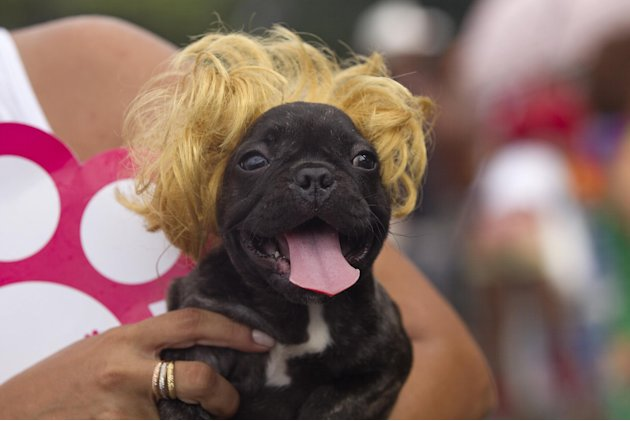 "A dog wears a blonde wig during the ""Blocao"" dog carnival parade in Rio de Janeiro, Brazil, Sunday, Feb. 3, 2013. According to Rio's tourism office, Rio's street Carnival this year will consist of 492"