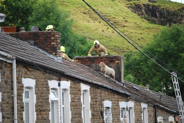 SWNS-SHEEP-ROOF-10_152336.jpg
