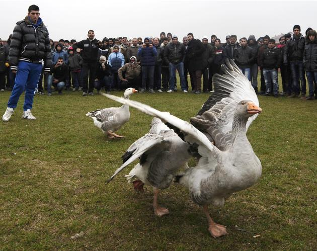 Owner watches his goose retreat from rival in a geese fight at the local soccer field in Shuto Orizari