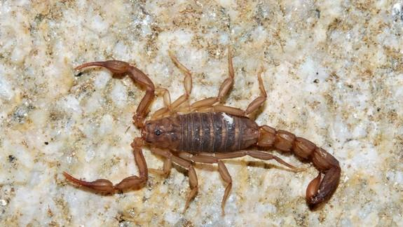New Scorpion Species Discovered Outside Tucson