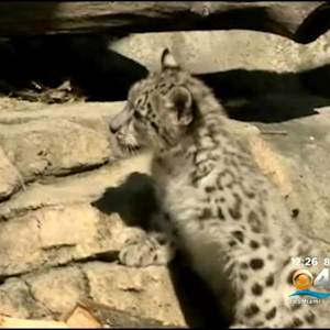 Snow Leopard Makes Debut At A Milwaukee Zoo