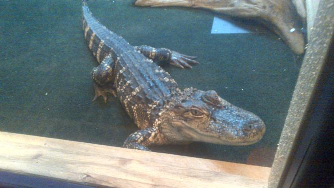Wally, a 4-foot alligator, is shown in this undated photo provided by the operators of Cajun Gator, a restaurant in Port Huron, Mich. On Monday, Dec. 16, 2013, the Port Huron City Council voted 4-2 to allow American alligators in its central business district. The restaurant is expected to open within days, and Wally is to be on hand to greet customers. (AP Photo/Cajun Gator)