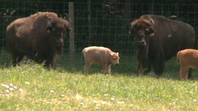 Rare white buffalo born on farm in Connecticut