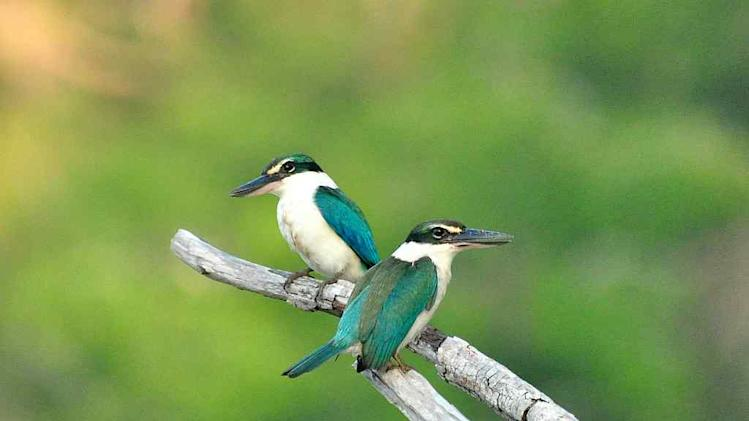 Travel Wildlife Collared Kingfishers