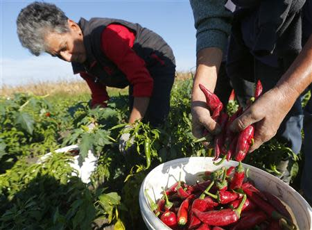 Women pick red peppers in a field near Batya