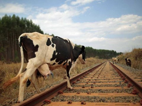 brazil cow railroad