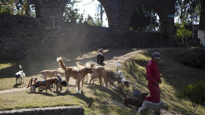"""A pack of dogs follow a worker at the at the """"Milagros Caninos,"""" sanctuary for abused and abandoned dogs, in Mexico City, Friday, Jan. 11, 2013. About 128 abused dogs are sheltered at the Milagros Caninos sanctuary. Dogs on wheelchairs, blind, deaf or ill frolic and run around the huge sanctuary in the southern part of Mexico City. (AP Photo/Eduardo Verdugo)"""