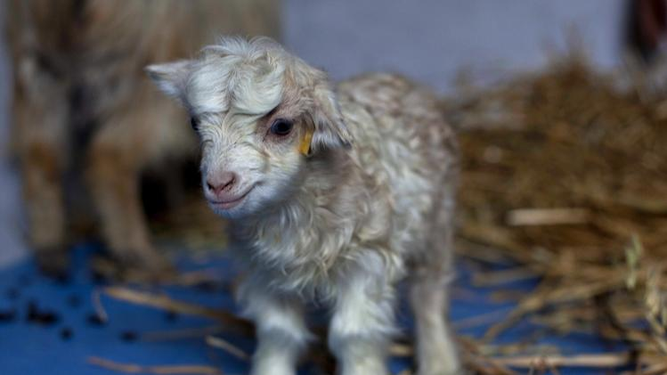 Noori, a cloned pashmina goat, stands inside a sheep breeding center at Sher-e-Kashmir University of Agricultural Sciences and Technology in Alastang, some 25 kilometers (15 miles)  from Srinagar, India, Wednesday, March 14, 2012.  Scientists at the university successfully cloned the world's first pashmina goat, prized for its fine wool, according to news reports. (AP Photo/ Dar Yasin)