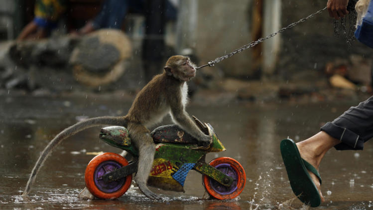 Street performer drags monkey riding toy motorcycle as it rains in Jakarta