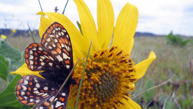 In this March 15, 2011 photo, provided by the U.S. Fish & Wildlife Service, a Taylor's checkerspot butterfly is seen in Oregon. A federal judge on Friday, Sept. 9, 2011 approved a pair of sweeping settlements that require the government to consider endangered protections for more than 800 animal and plant species. (AP Photo/U.S. Fish & Wildlife Service)