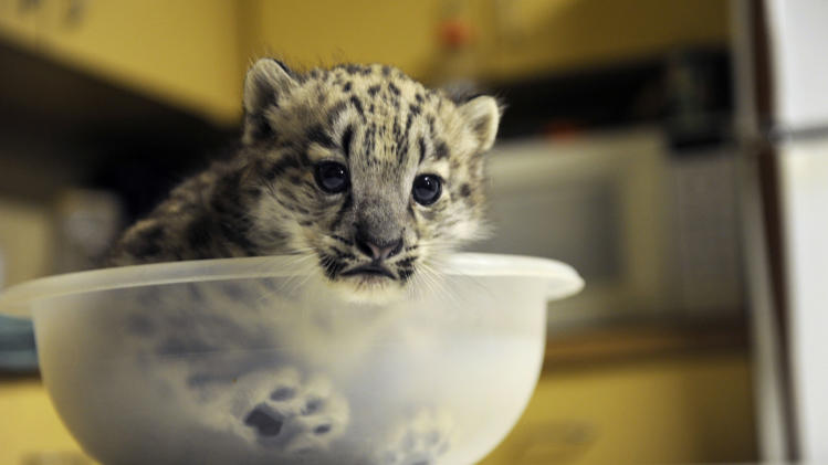 In this Feb. 21, 2011 photo, Chattanooga Zoo's  6-week-old snow leopard cub sits in a bowl for her weigh-in at the zoo in Chattanooga, Tenn. Though snow leopard cubs only have a 30 percent survival rate, the cub is healthy and growing around 100 grams every two days, the Chattanooga Times Free Press reports. (AP Photo/Chattanooga Times Free Press, Jenna Walker)