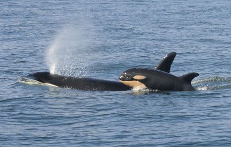 Third calf born to endangered killer whale population in U.S. Pacific Northwest