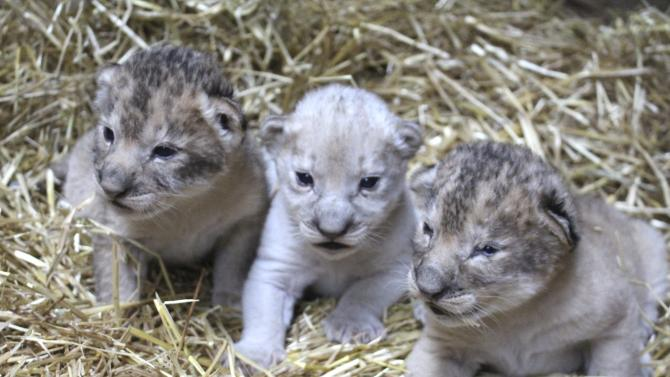 Handout photo of a rare white lion cub at the Henry Doorly Zoo and Aquarium in Omaha