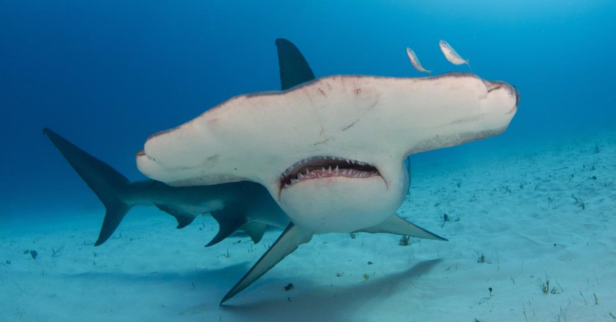 Hammerheads: Dangerous to humans?