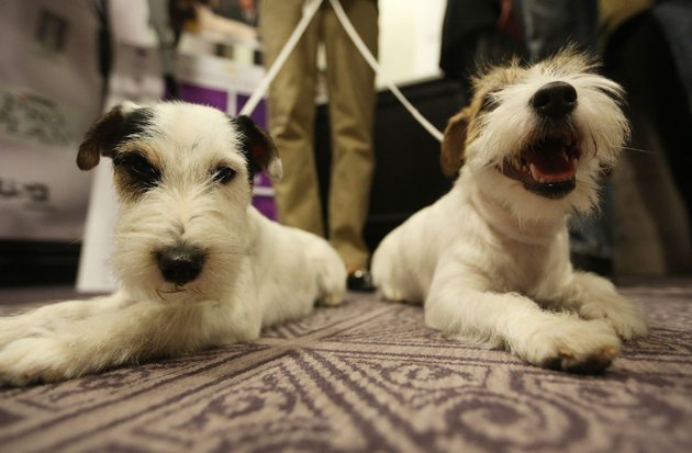Russell terriers Pepper and Madison make their pre-Westminster Dog Show debut (Mario Tama/Getty Images)