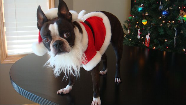 Echo the Dog: Boston Terrier Wows in Creative Costumes