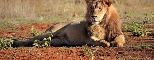 Cecil hunt pressures U.S. to protect African lion