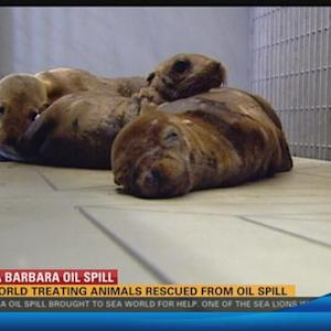 SeaWorld treating animals rescued from oil spill