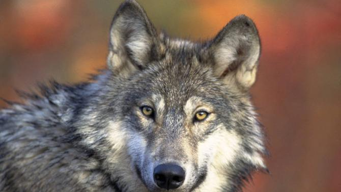 FILE - This April 18, 2008, file photo provided by the U.S. Fish and Wildlife shows a gray wolf. A scientific review says the U.S. government's bid to lift federal protections for gray wolves across most of the Lower 48 states is based on unproven claims about their genetics. The U.S. Fish and Wildlife Service peer review panel released its report Friday Feb. 7, 2014. It represents a significant setback for the pending proposal to take gray wolves off the endangered species list except in the desert Southwest. (AP Photo/U.S. Fish and Wildlife Service, Gary Kramer, File)