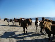 Wild horses at Assateague National Seashore. (Photo courtesy of flickr.com/photos/gemstone.)