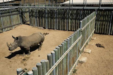 A rhino is kept in an enclosure at the Kruger national park