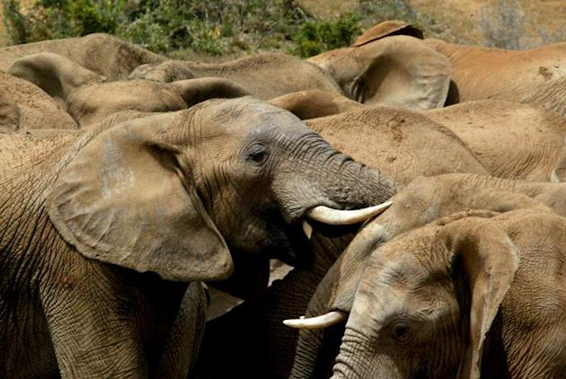 African elephants (Loxodonta africana) are the largest land animals on Earth and are considered a vulnerable species due to habitat loss and illegal hunting for their ivory tusks