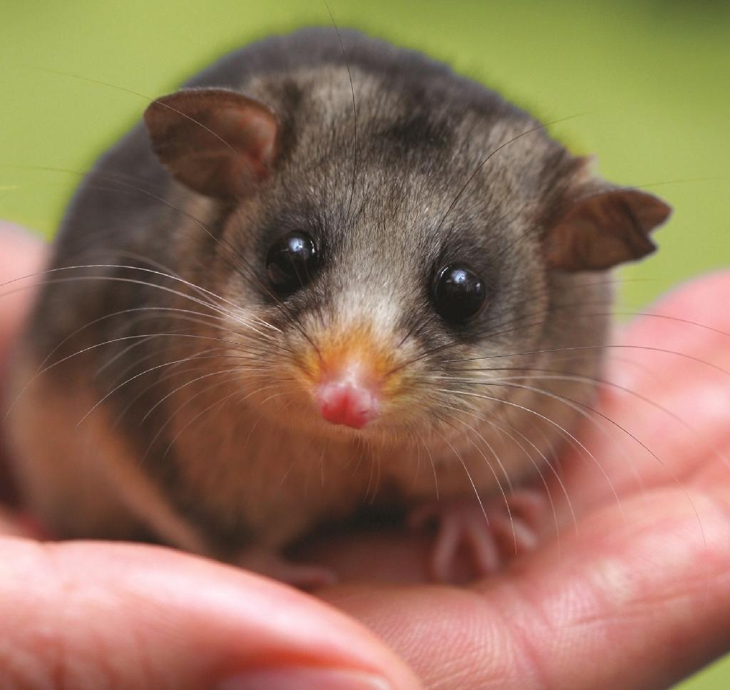 Australia gift to Britain's new princess to help pygmy possums
