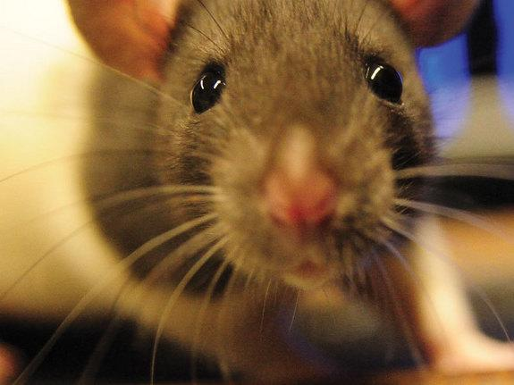 Googly Eyes Help Rats Watch for Birds