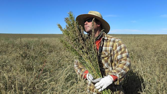 Legal or not, industrial hemp harvested in Colo.