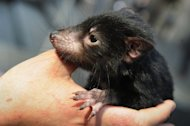 A Tasmanian devil is held by wildlife personnel at Martin Place public square in Sydney on September 7, 2012. Australia Friday rejected a bid for blanket heritage listing of Tasmania's Tarkine rainforest, angering environmentalists who said it would allow mining and could threaten the Tasmanian devil
