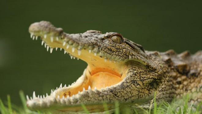 You might prefer this kind of crocodile, actually.